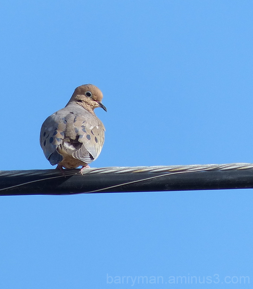 tail-less mourning dove