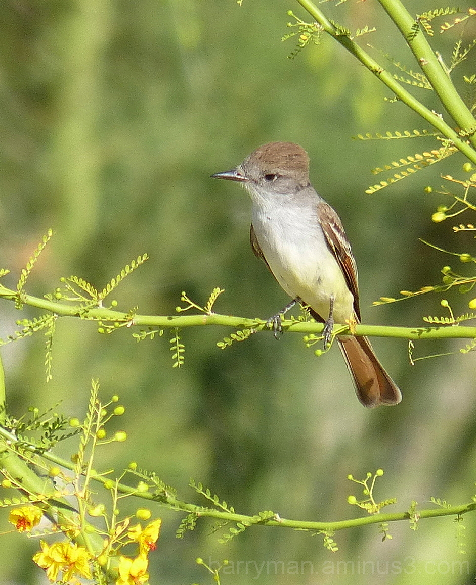 bird ash-throated flycatcher