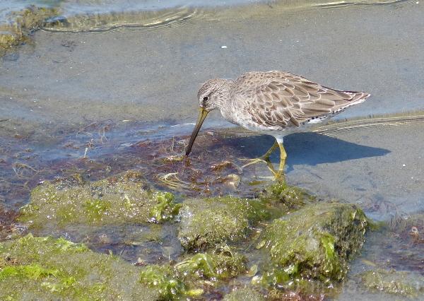 bird short-billed dowitcher