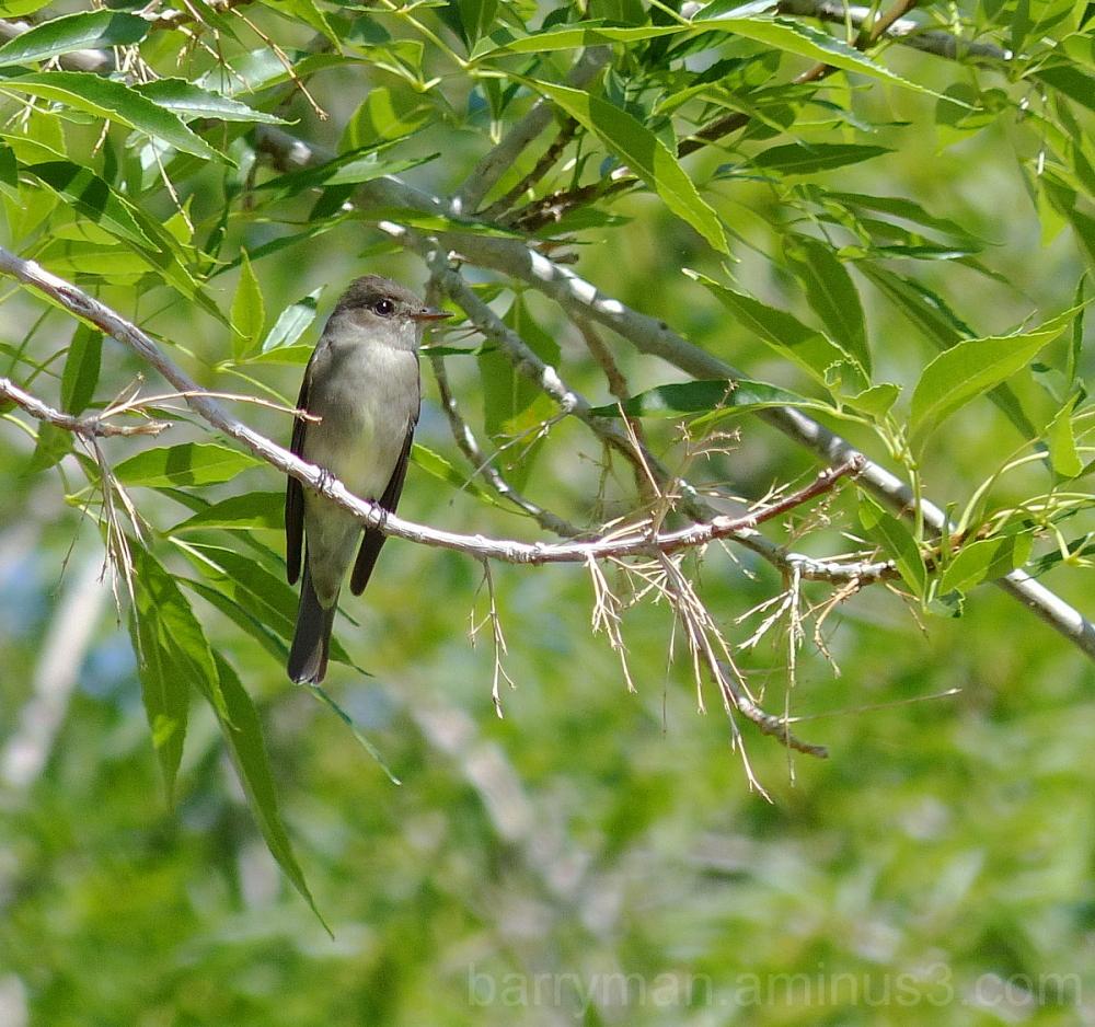 western wood-peewee bird