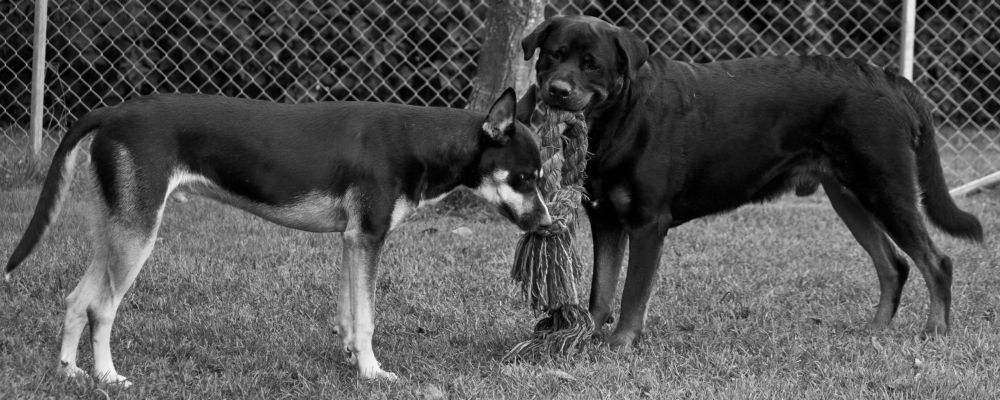 Rottweiler and friend