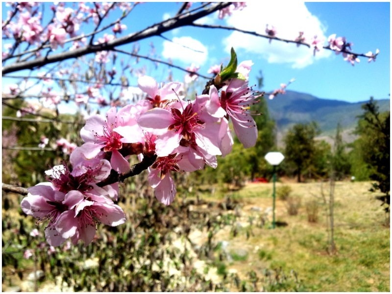 Peach blossoms in Thimphu, Bhutan