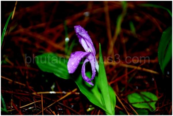 Mountain Roscoe Lily