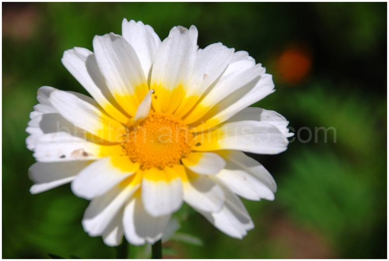 Margeurite Daisy