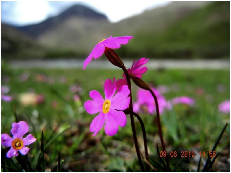 Himalayan meadow Primrose