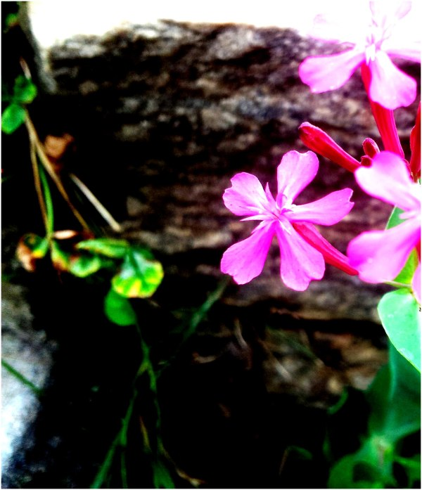 None-so-Pretty, Catchfly