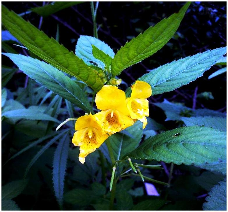 Rugged Yellow Balsam
