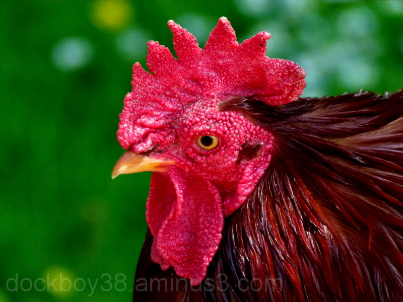 Little Red Rooster .