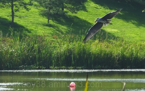 A Hungry Heron .4.