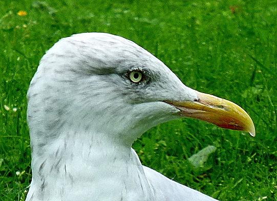 Simply A Gull .