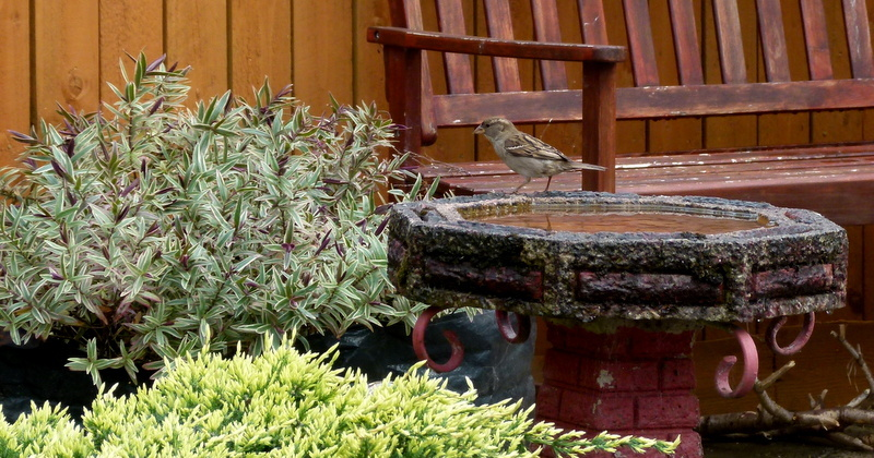 A Sparrow With a Thirst . .