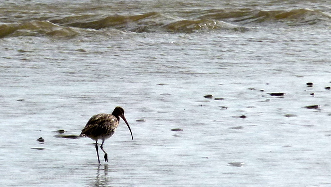 A Lonely Curlew . . .