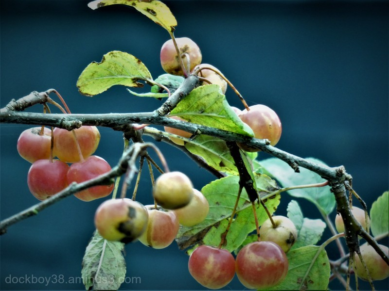 Crab Apples.....