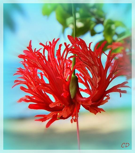 Hibiscus - Lanterne japonaise