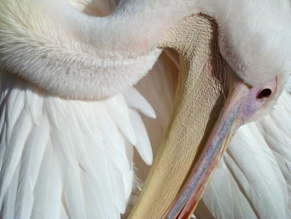 Tabass's Pelican