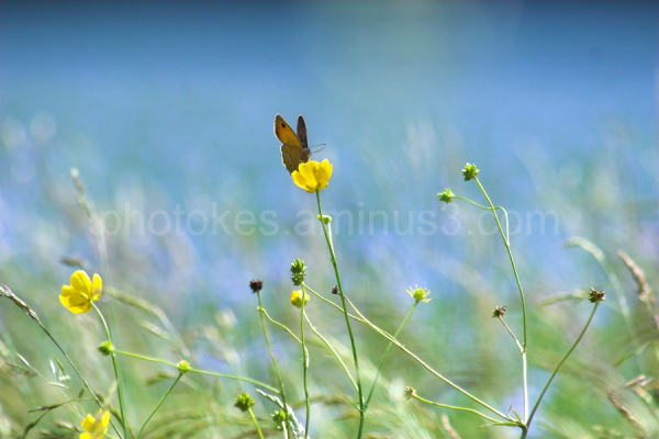 Butterfly on buttercups in a field of linseed