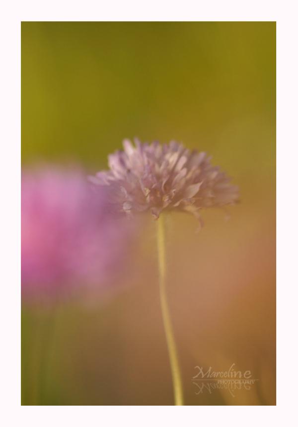 fleur de colombaire, scabiosa columbaria