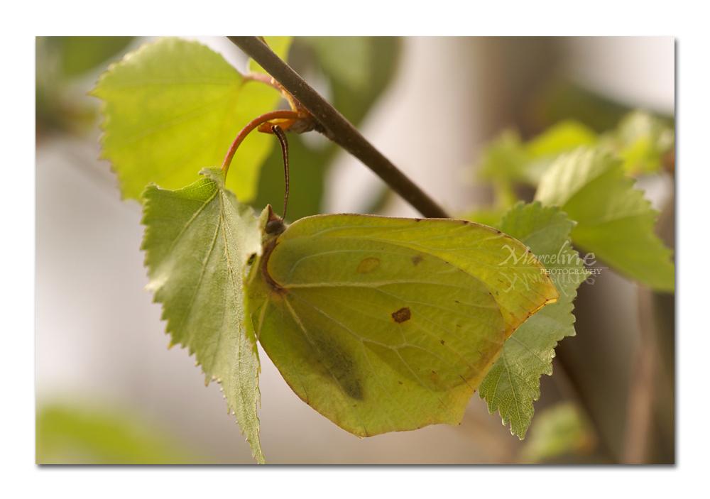 papillon jaune, le citron, gonepteryx rhamni