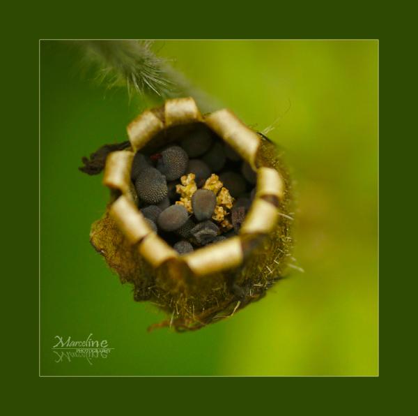 graines de plantes sauvages