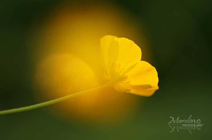 bouton d'or au soleil couchant