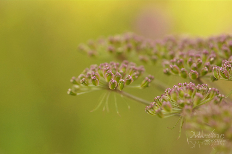 ombrelle de berce en graines