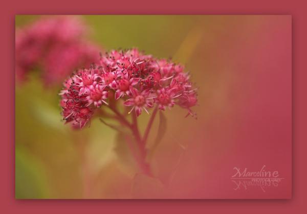 herbe à la coupure, sedum, plante nature