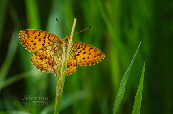 papillon nacré de la bistorte