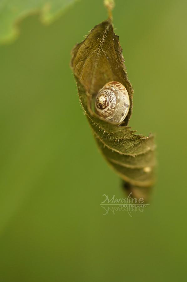 escargot lové dans une feuille