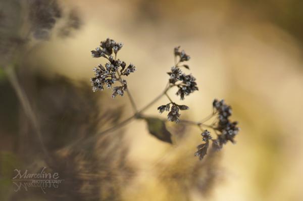 plante d'origan séchée