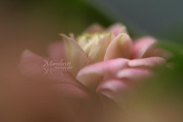 fleur rose de bouquet