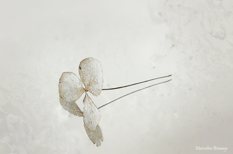 hydrangéa et son reflet