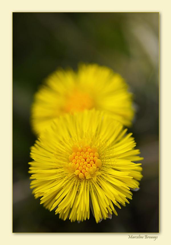 fleur de tussilage
