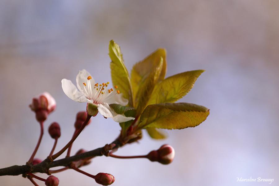 fleur de prunus au printemps