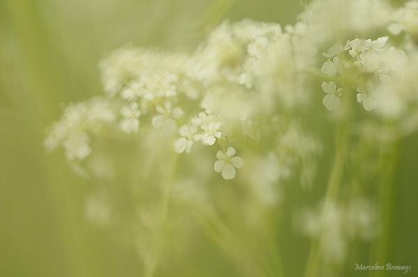 ombellifère au printemps