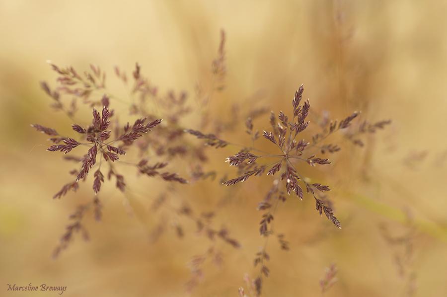 herbe en graine