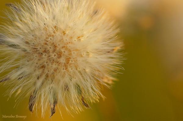 fleur en graines