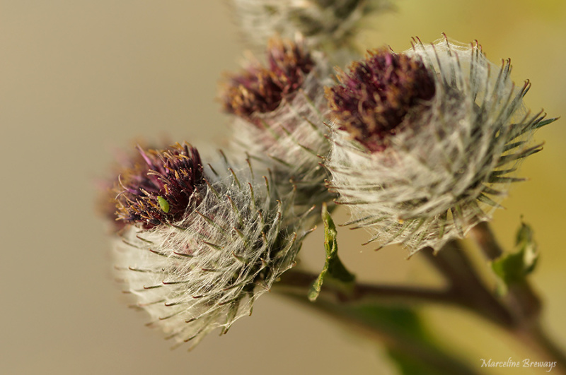 bardane fleurissante