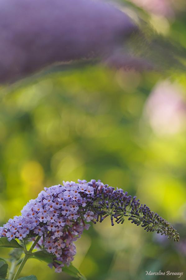 Buddleia en fleurs