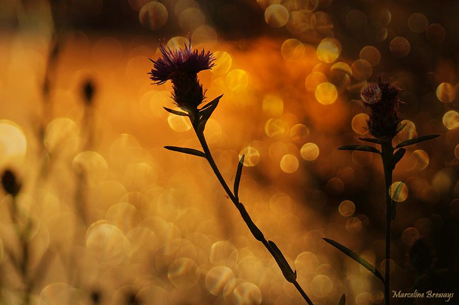 Centaurée noire au crépuscule