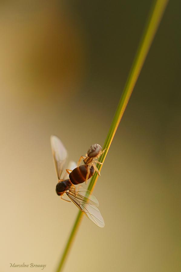 araignée en pleine chasse