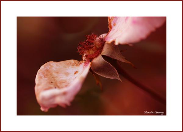rose en fin de vie