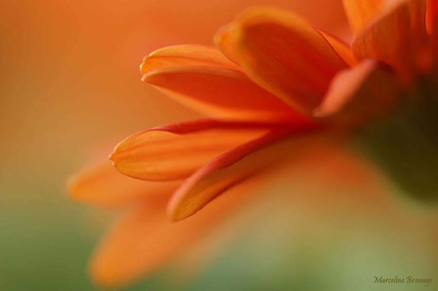 pétales de fleurs