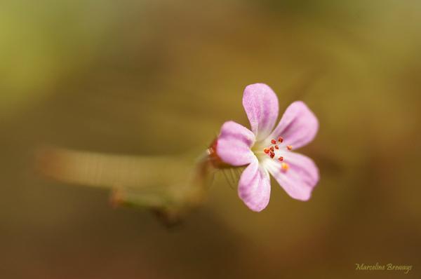 géranium en automne en forêt