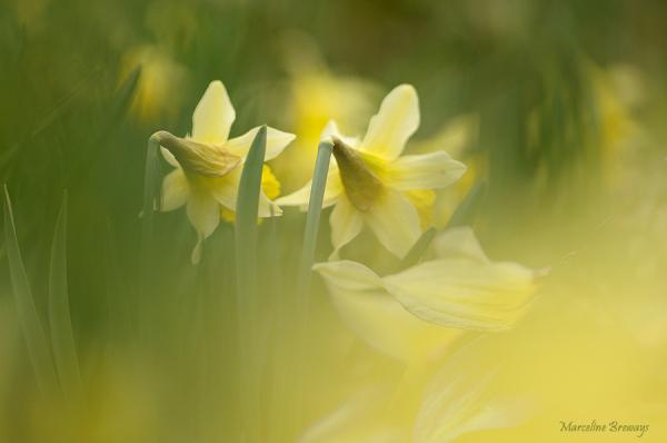 fleurs de jonquille