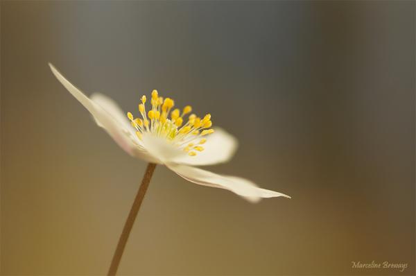 anémone au printemps