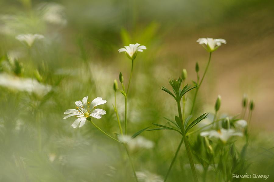 fleurs de stellaire au printemps