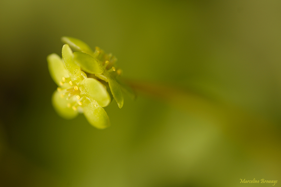 fleur de moscatelline