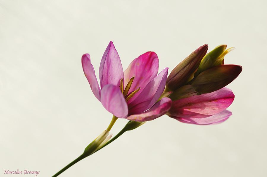 fleur d'ixia