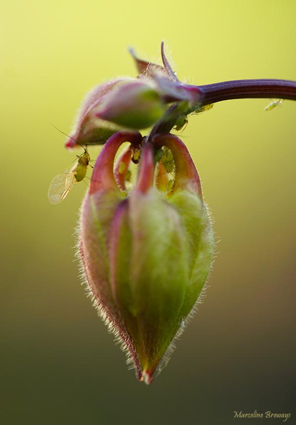 fleur d'ancolie et puceron