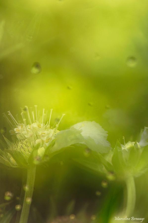 fleur de scabieuse